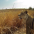 Watch a First Person View of a Lioness Hunting a Buck